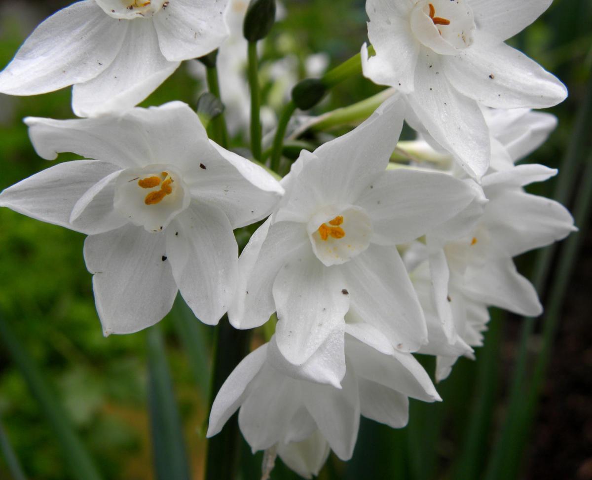 Paperwhites make pretty indoor flowers lifestyles qctimes paperwhites mightylinksfo