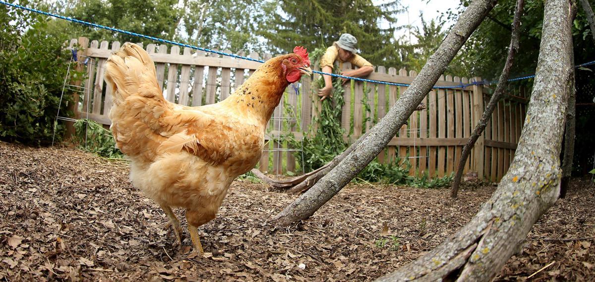 080317-backyard-chickens-002 (copy)