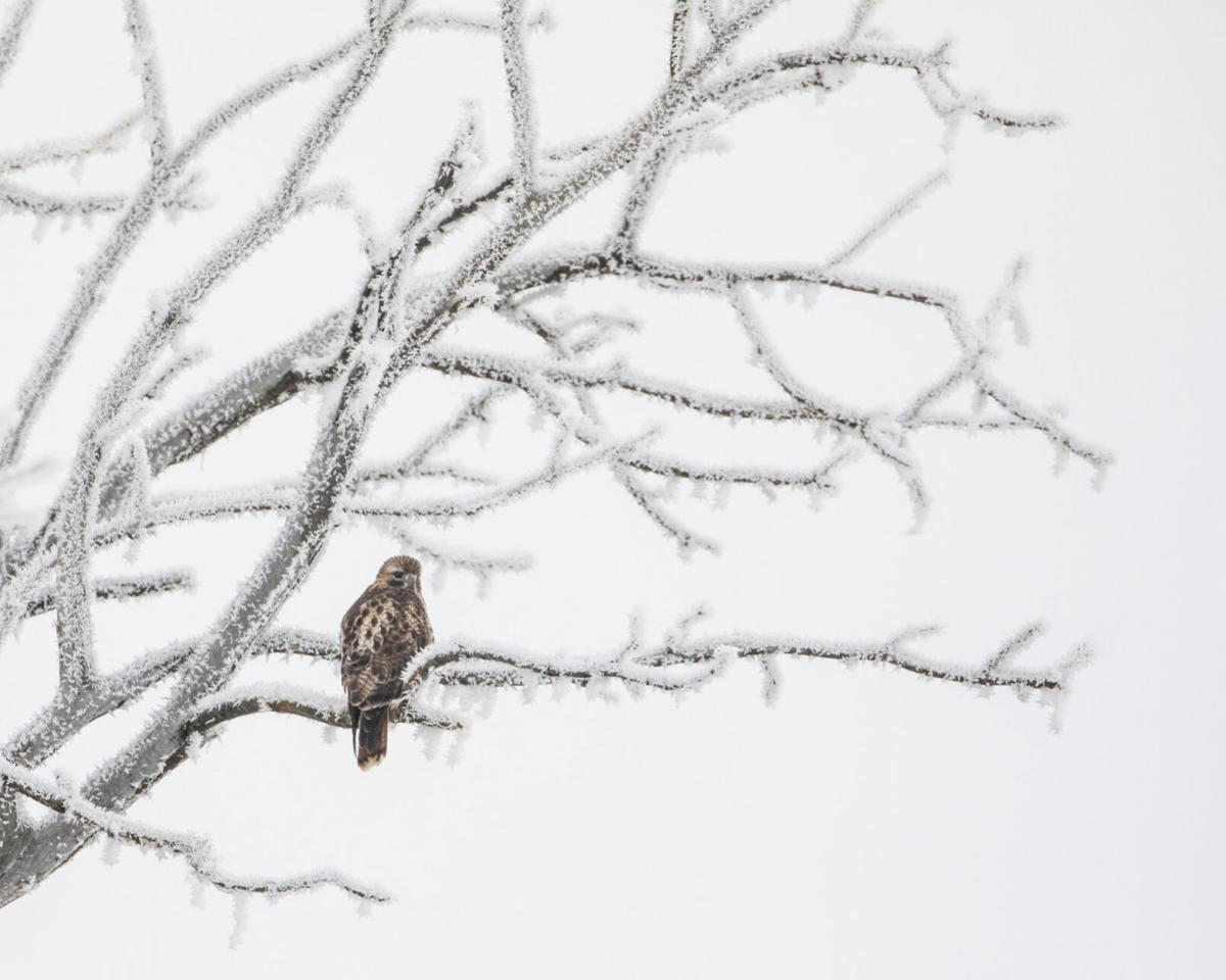 cbc red-tailed hawk