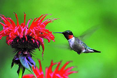 Wallaces Hummingbird 1