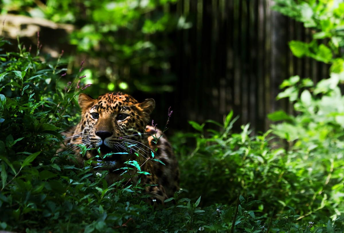 080819-mda-nws-leopard-0001
