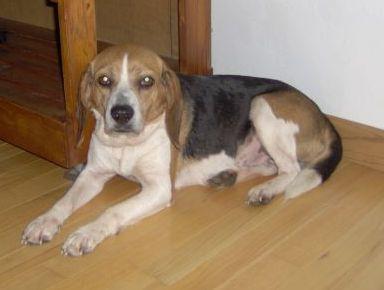 Izzy the beagle