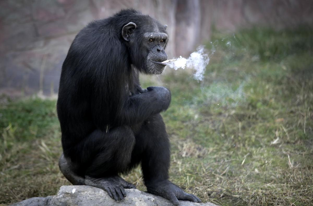 APTOPIX North Korea Smoking Chimp