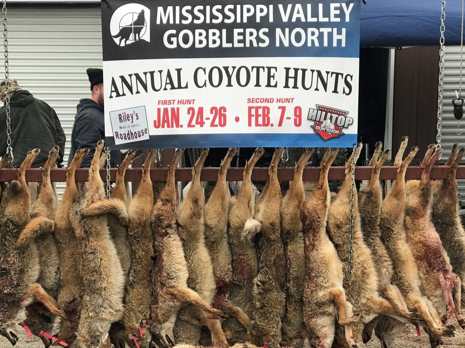Annual Coyote Hunt For Conservation A Growing Success Sports Qctimes Com