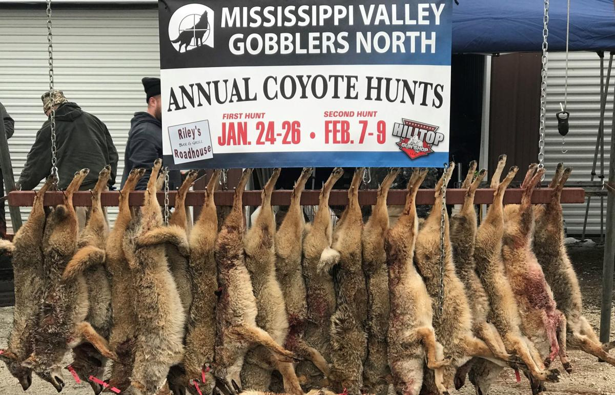coyote hunt