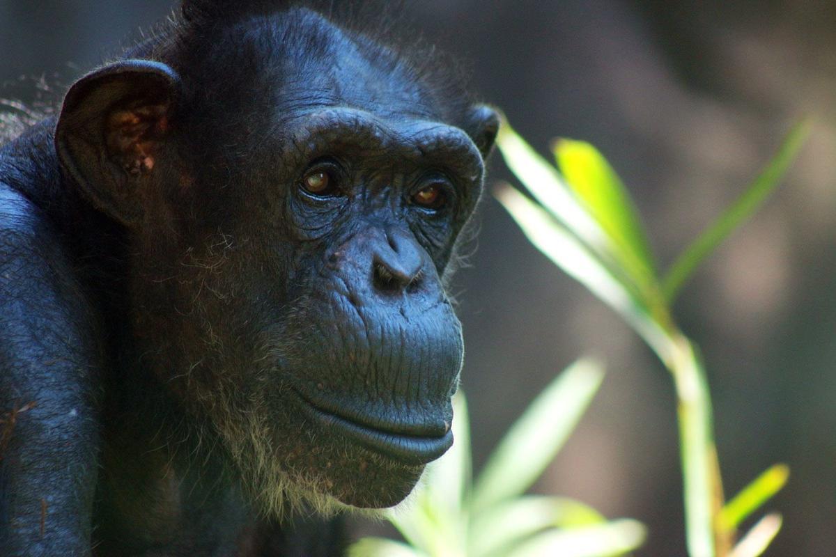 101519-mda-nws-chimp