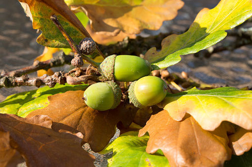 you can grow free oak trees from acorns lifestyles