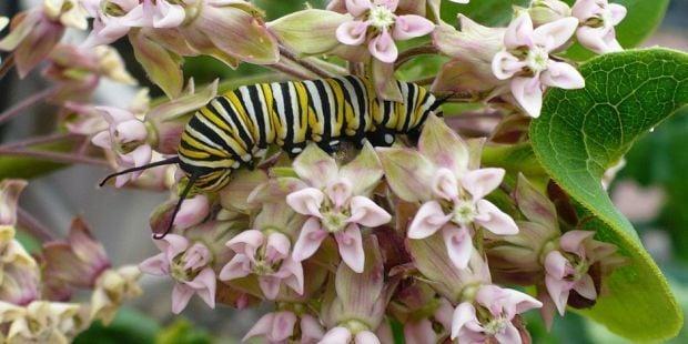 larvae on milkweed flowers