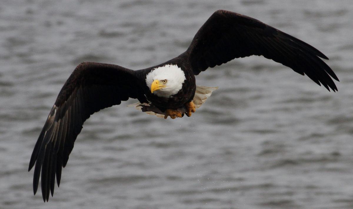 EAGLE GRABS A FISH