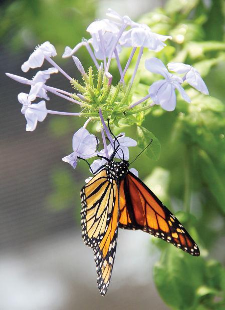 Butterfly Habitat monarch butterfly