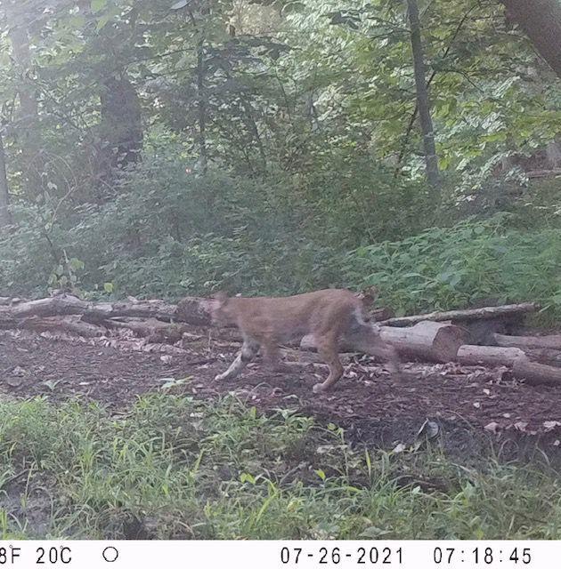 Rock Island bobcat