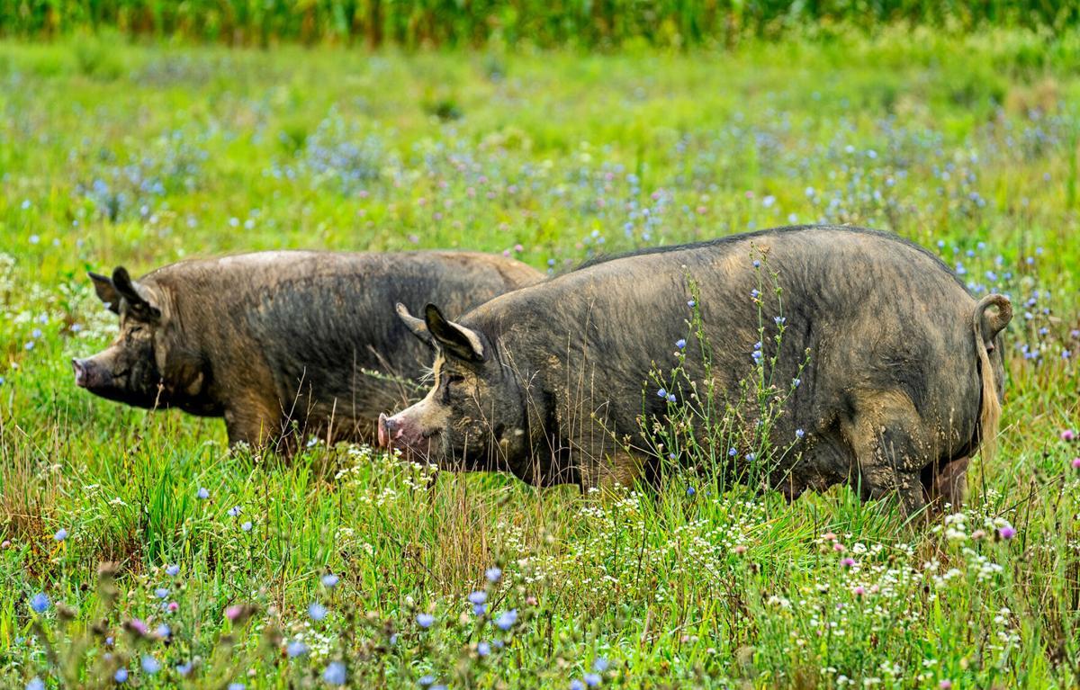 Autumn Olive Farms — pigs 1