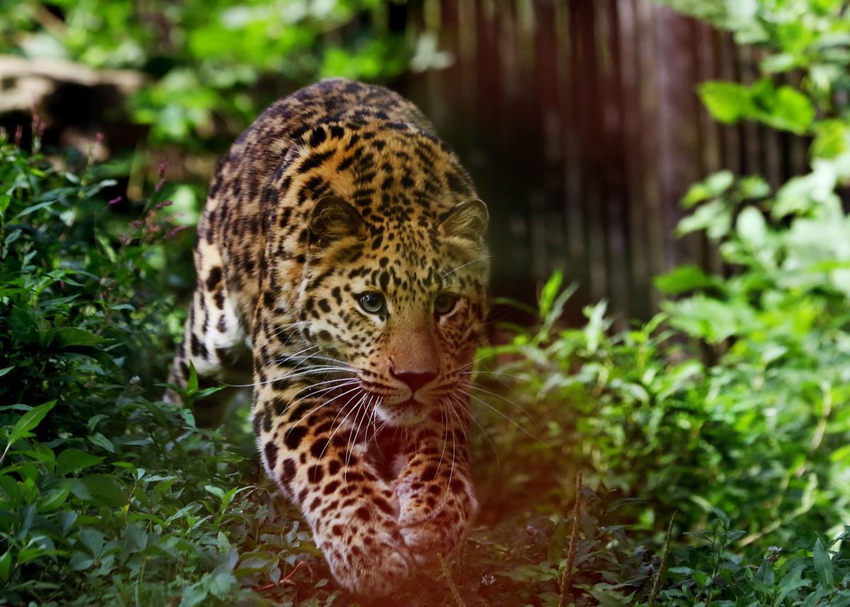 080819-mda-nws-leopard-0002