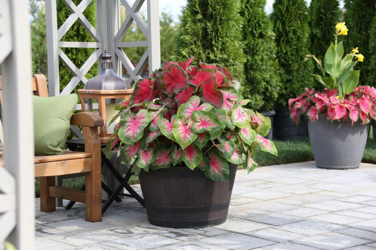 Caladiums Bring Color To Shady Areas Home Garden Qctimes Com