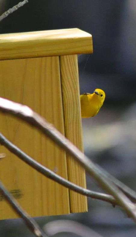 prothonotary warbler looking at new home