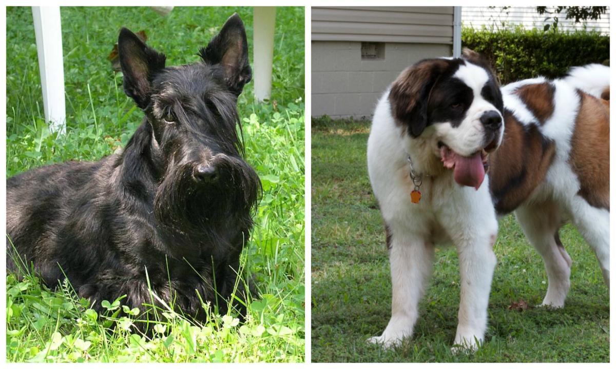 Scottish Terrier and Saint Bernard