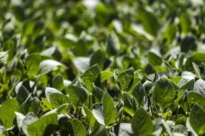 070618-qct-soybean-002