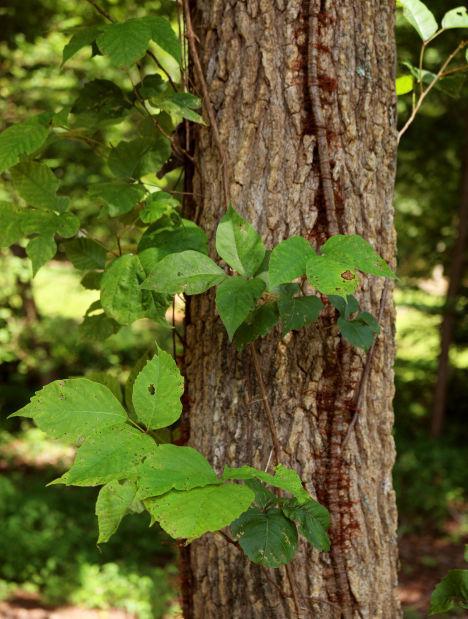 Gardener poison ivy