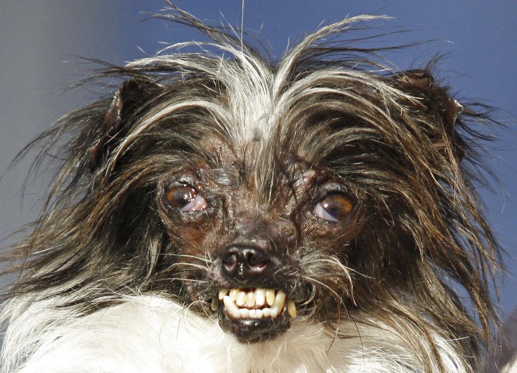 World Ugliest Dog