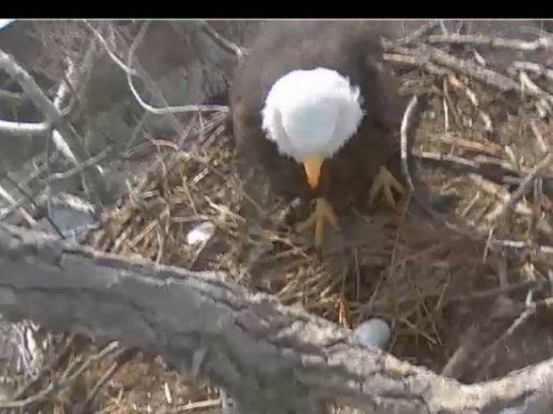 Eaglecam first egg 2014
