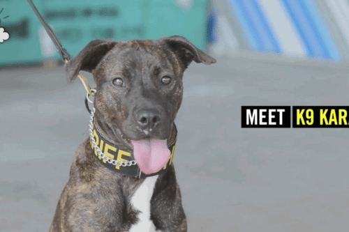 Colorado's First-Ever Pit Bull Police K-9 Is A Former Shelter Dog