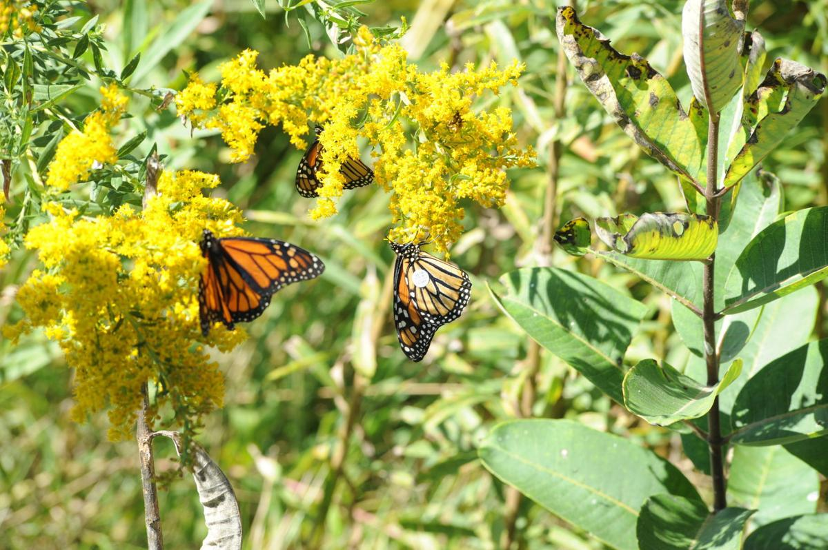 monarchs and goldenrod