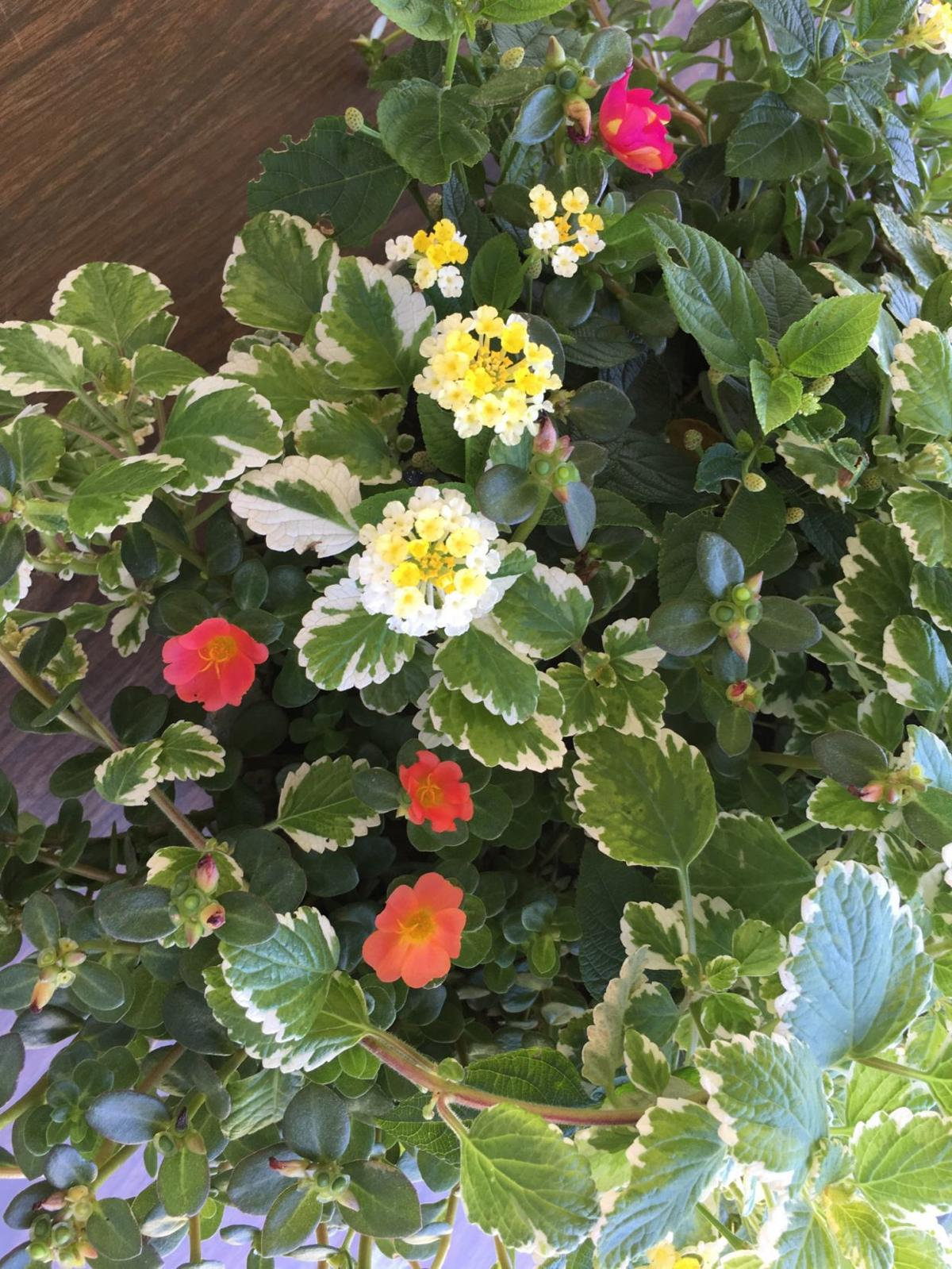 A Colorful Choice Compact Varieties Of Lantana Bring Punch To