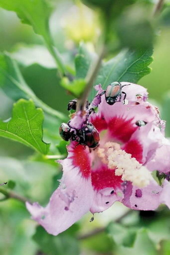 Japanese beetle on rose of sharon