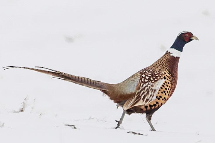 cbc male pheasant