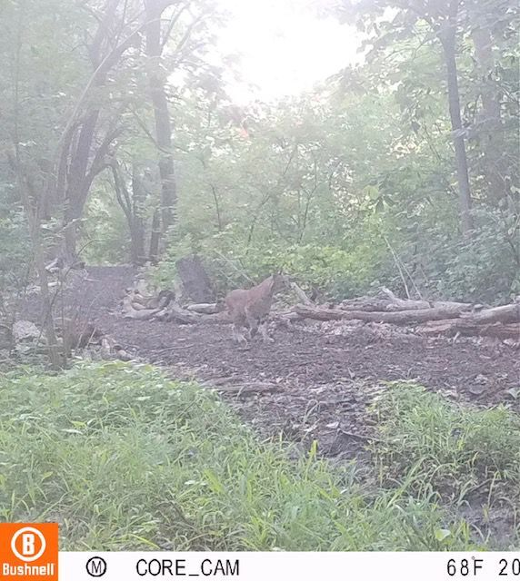 Bobcat photographed in Rock Island