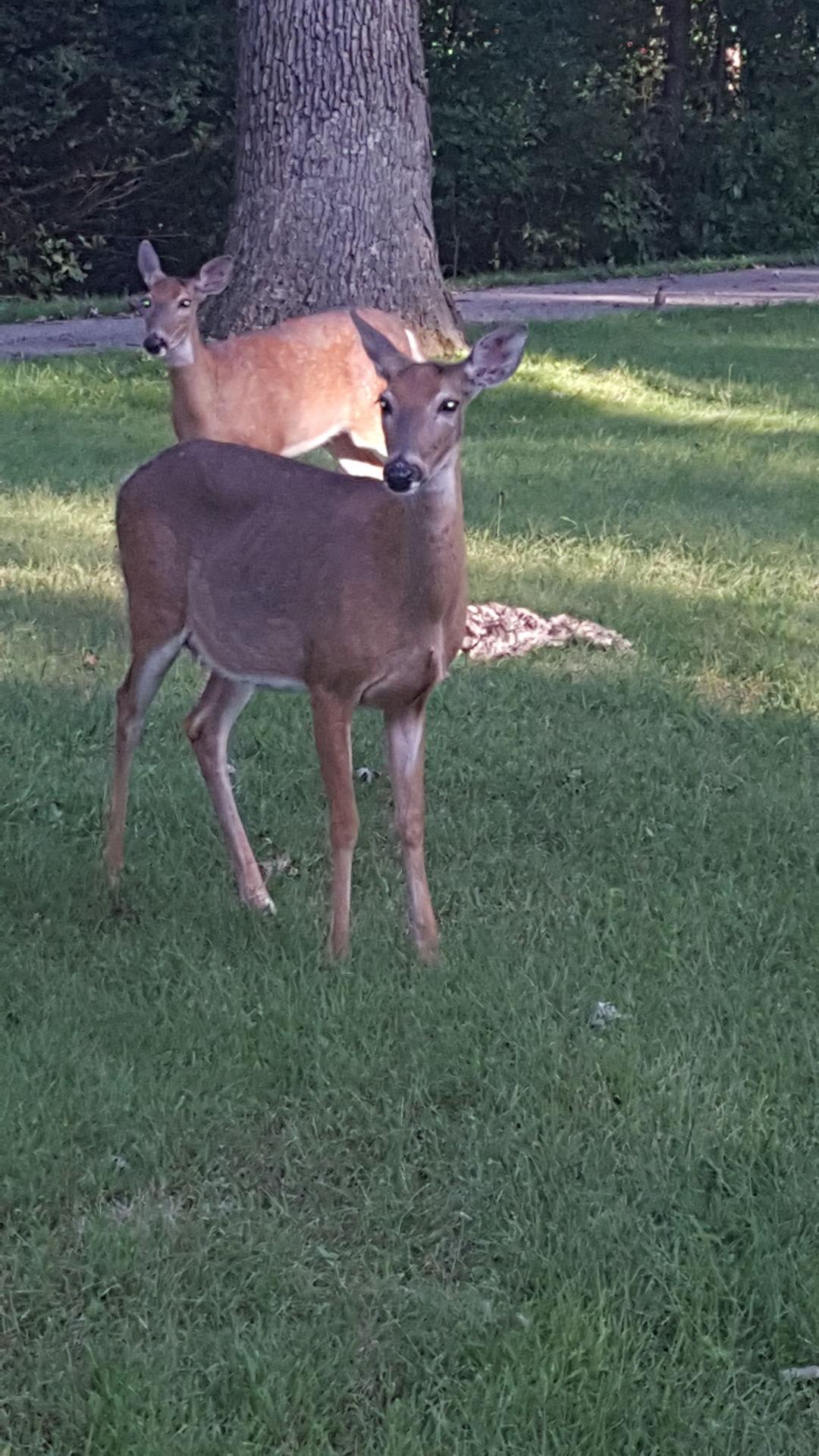 Moline deer