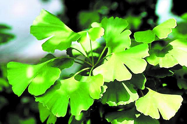 Wallaces - Gingko Tree