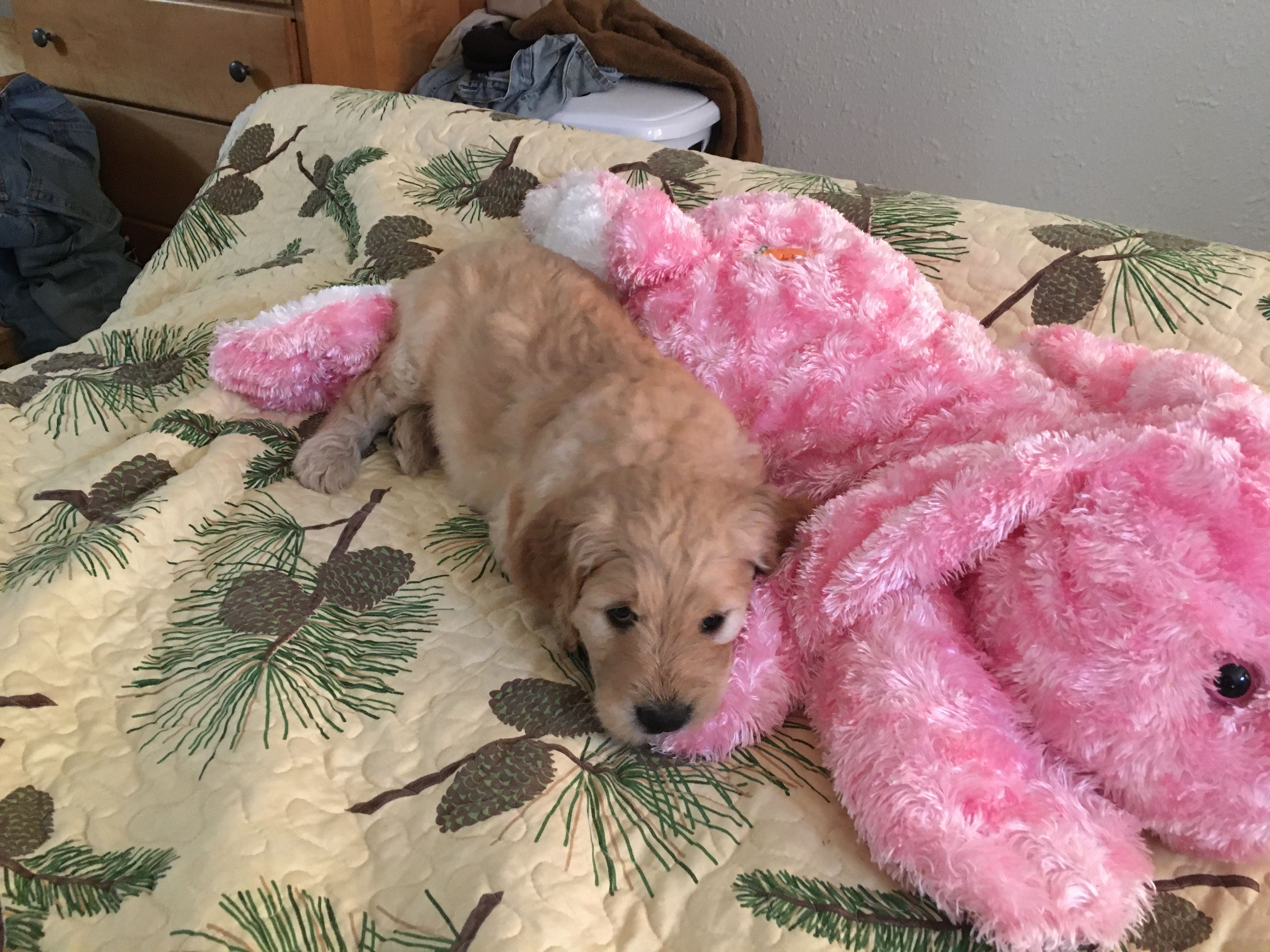 F2 golden doodle puppies image 2