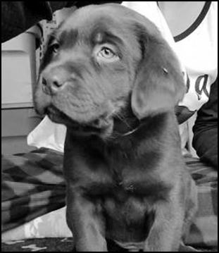 AKC chocolate & black labrador