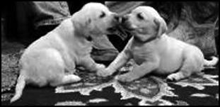 AKC Pointing Labradors. NE Cer