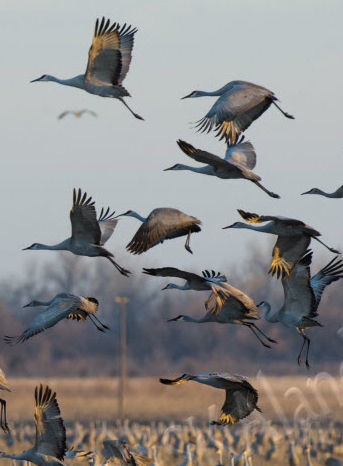 Sandhills Cranes