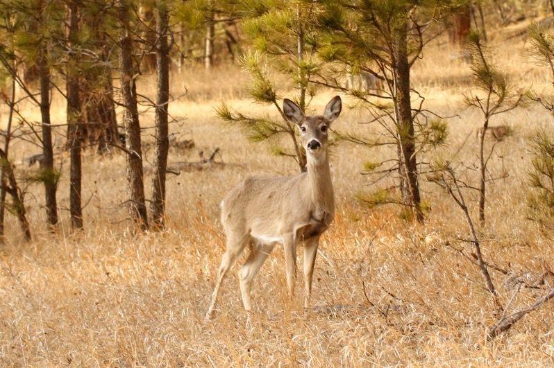 Whitetail-deer (copy)