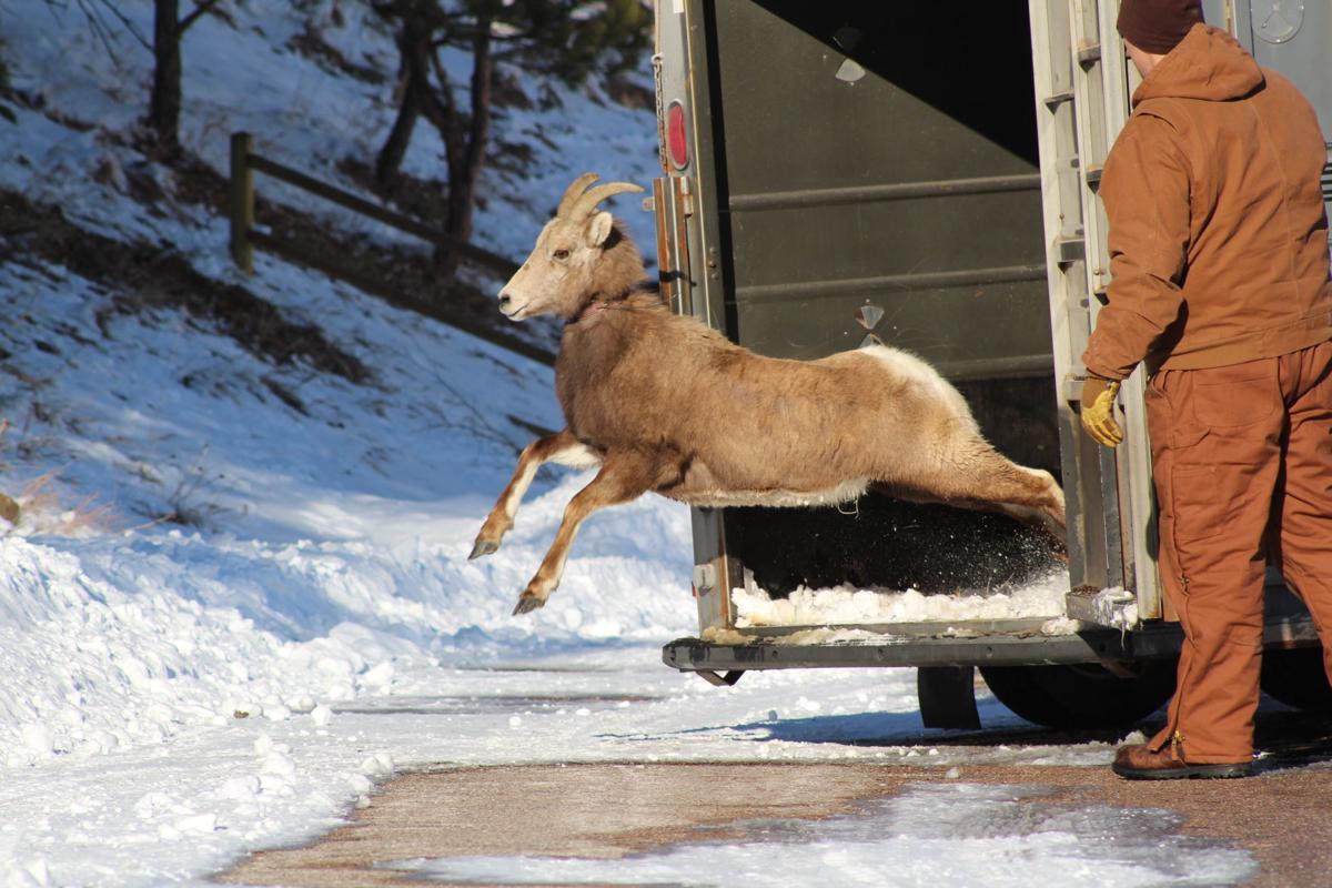 Bighorn release