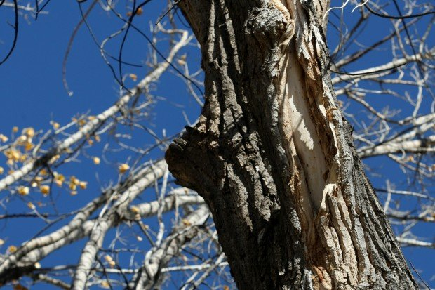 102012-nws-cottonwoods2.JPG
