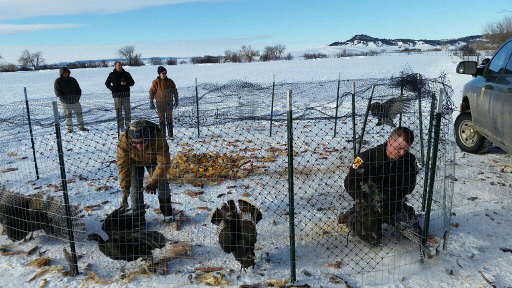 011117-bcp-turkeys1