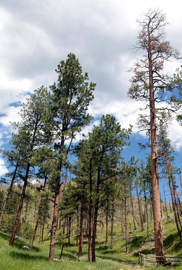 Top Of South Dakota S Largest Tree Dies Cause Still Uncertain