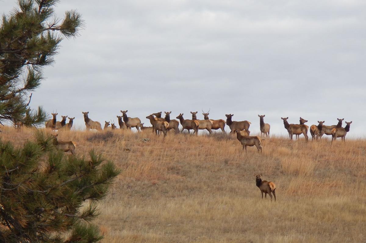 Elk Herd on Ridge Line.jpg