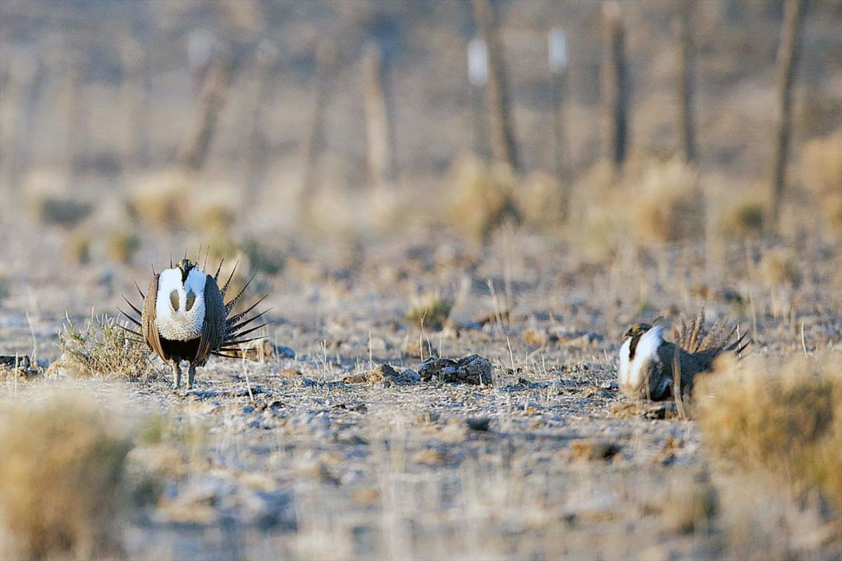 Wind Power Sage Grouse