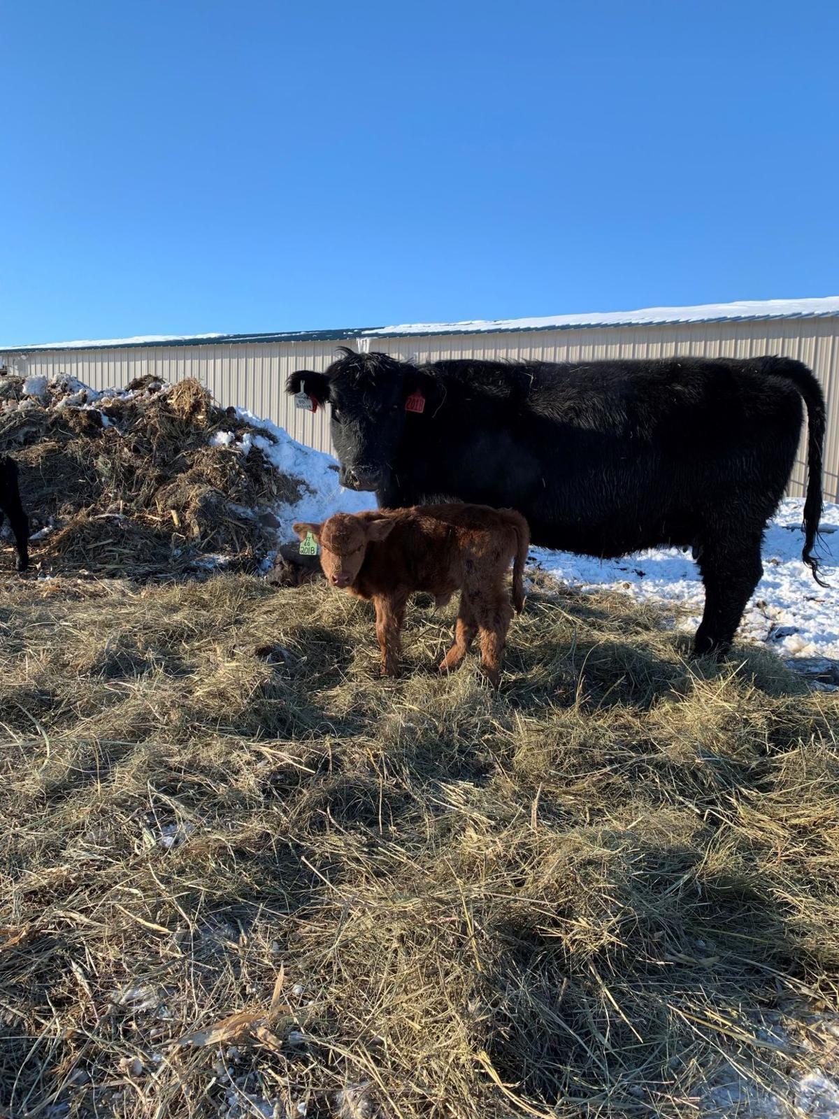 Wessington cattle family
