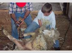 Sheep shearing school to be held