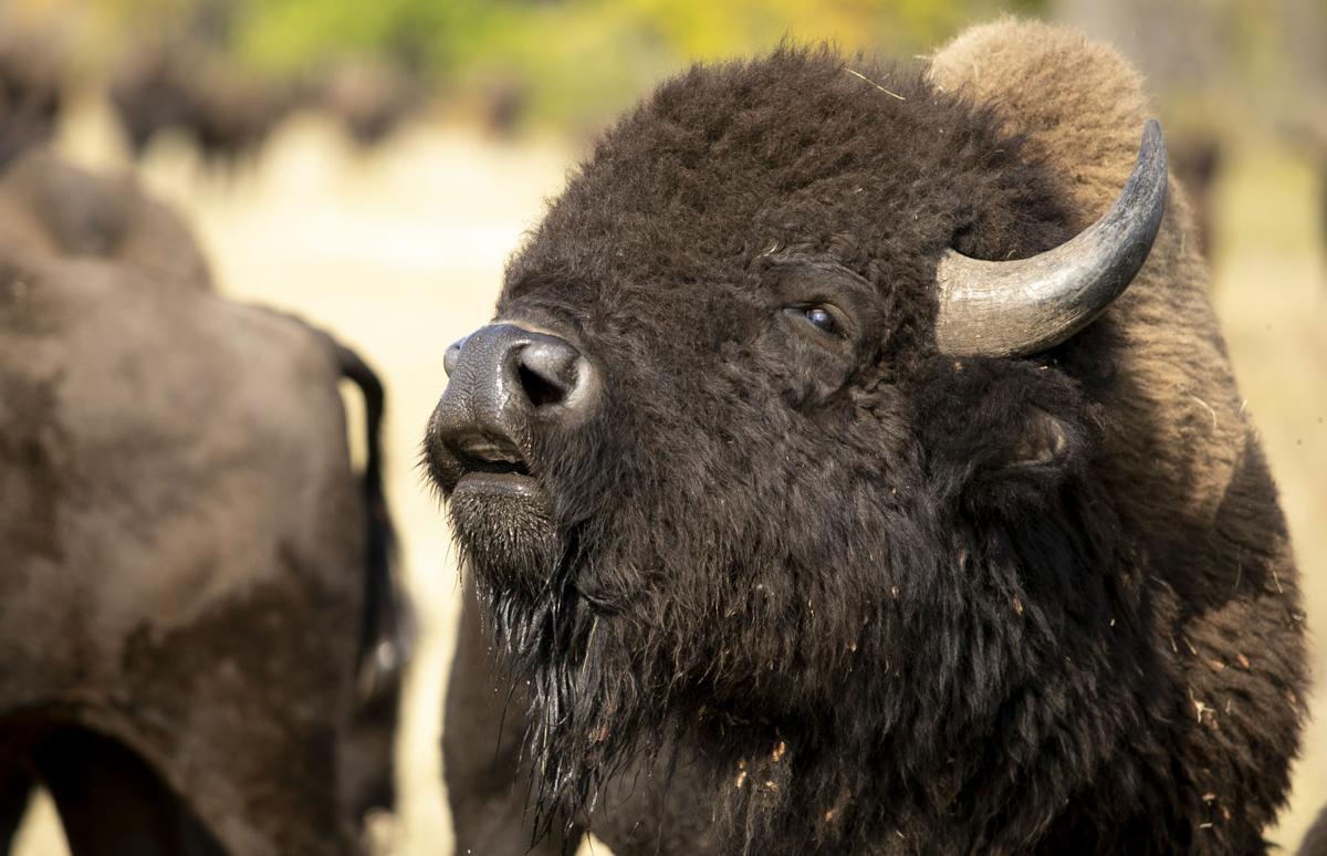 Buffalo Roundup Preview