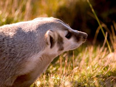 badger (copy)