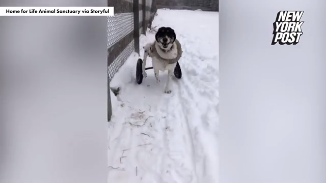 Watch Now: Paraplegic dogs have fun playing in Minnesota ...