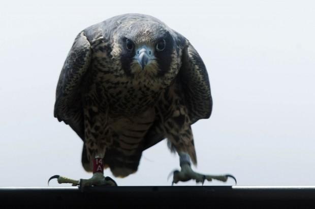 062912-nws-falcons002.jpg