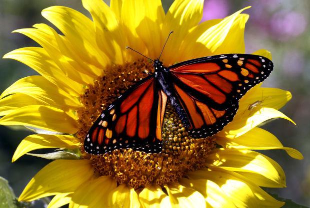 090514-nws-butterflies004.JPG